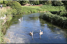 SU4828 : Swans on the Itchen by Andrew Abbott