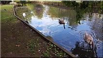 TQ3296 : Cygnets, New River Loop, Enfield by Christine Matthews