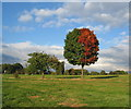 SP3178 : Two tone maple, Hearsall Common by E Gammie