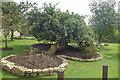 SE0557 : Ancient Apple Tree by Michael Graham