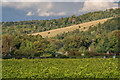 TQ1650 : Denbies Vineyard by Ian Capper