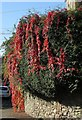 ST5874 : Virginia creeper, Redland by Derek Harper
