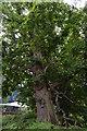 TQ5345 : Chestnut tree by N Chadwick