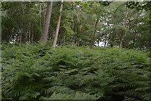 TQ5245 : Bracken, Woodland by N Chadwick
