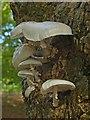 ST3087 : Porcelain Fungus, Belle Vue Park, Newport by Robin Drayton