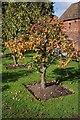 SJ9304 : Worcester Black Pear tree by Philip Halling