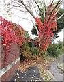 ST5177 : Virginia Creeper, Portview Road, Avonmouth by Derek Harper