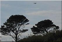SX8757 : Kestrel over Waddeton Lane Plantation by Derek Harper