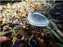H4963 : Fungus, Seskinore Forest (9) by Kenneth  Allen