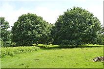 TQ5244 : Oak trees, Penshurst Park by N Chadwick