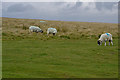 NY6511 : Sheep on Gaythorne Plain by Nigel Brown