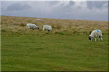 NY6511 : Sheep on Gaythorne Plain by Nigel Brown