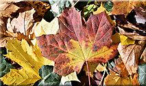 J3371 : Autumn leaves, Stranmillis, Belfast - November 2016(1) by Albert Bridge