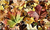 J3371 : Autumn leaves, Stranmillis, Belfast - November 2016(2) by Albert Bridge