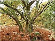 NH5857 : An oak of Easter Oak Wood by Julian Paren
