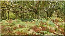 NH5857 : Oaks and bracken, Easter Oak Wood by Julian Paren