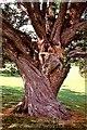 TQ8718 : Wild service tree trunk by Patrick Roper