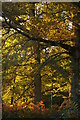 TQ1342 : Autumn foliage, Leith Hill Place Wood by Christopher Hilton