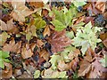 SO8843 : Autumn leaves by Philip Halling