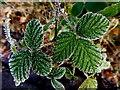 H4772 : Frosty nettle leaves, Cranny by Kenneth  Allen