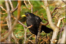 HP6008 : Male Blackbird (Turdus merula), Trolla Water, Baltasound by Mike Pennington