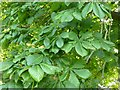 NX9873 : Horse chestnut leaves by Philip Halling