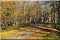 SN6283 : Beech trees on Allt Ddêl by Nigel Brown
