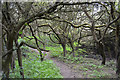 SP3576 : In a blackthorn thicket near the River Sowe, Willenhall Brookstray, Coventry by Robin Stott