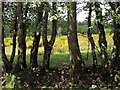 TQ7820 : Flowering broom seen through overstood hedge by Patrick Roper