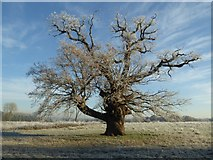SO8844 : An oak tree on a frosty morning by Philip Halling