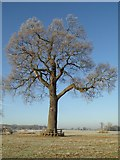 SO8844 : Tree in Croome Park on a frosty morning by Philip Halling