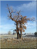 SO8844 : A mature oak tree, Croome Park by Philip Halling