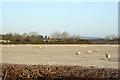 SP6014 : Sheep in a frosty field by Robin Webster