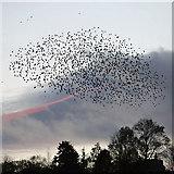 NT4728 : A starling murmuration at Selkirk by Walter Baxter
