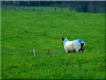 H5371 : Sheep with markings, Drumduff by Kenneth  Allen