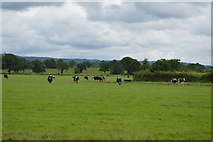 TQ5347 : Cattle grazing by N Chadwick