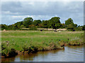 SJ6446 : Canalside pasture south-east of Sound, Cheshire by Roger  Kidd