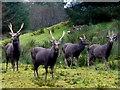 H4881 : Sika deer, Gortin Glens Forest Park by Kenneth  Allen