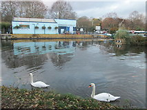 TL3706 : Pair of mute swans on the River Lea by Peter S