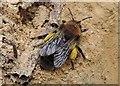 TQ7818 : Clark's mining bee, Churchland Wood by Patrick Roper