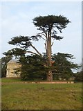 SO8844 : Cedar tree beside the Rotunda by Philip Halling