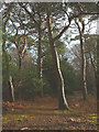 SD4676 : Scots pines, Eaves Wood by Karl and Ali