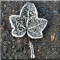 SO6023 : Frosted leaf by Jonathan Billinger
