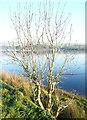 SD9314 : Ash tree, Hollingworth Lake by Humphrey Bolton