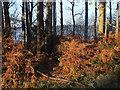 SJ5570 : Defrosted bracken in Delamere Forest by Stephen Craven