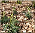 TQ8623 : Stinking  hellebores, Flatropers Wood by Patrick Roper