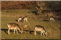 TQ5354 : Fallow Deer by Ian Capper
