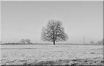 ST8080 : Chestnut Tree, Acton Turville, Gloucestershire 2016 by Ray Bird