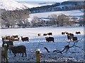 NT2538 : Sheep at Bonnington by Jim Barton