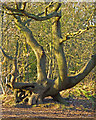TQ5782 : Limbs entwined, like two old friends, Belhus Woods Country Park by Roger Jones